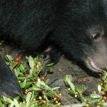 Uva Ursi for Prostate Health