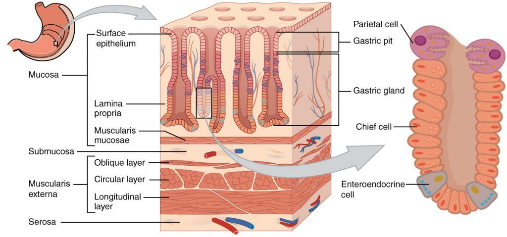 stomach mucosa pepzin