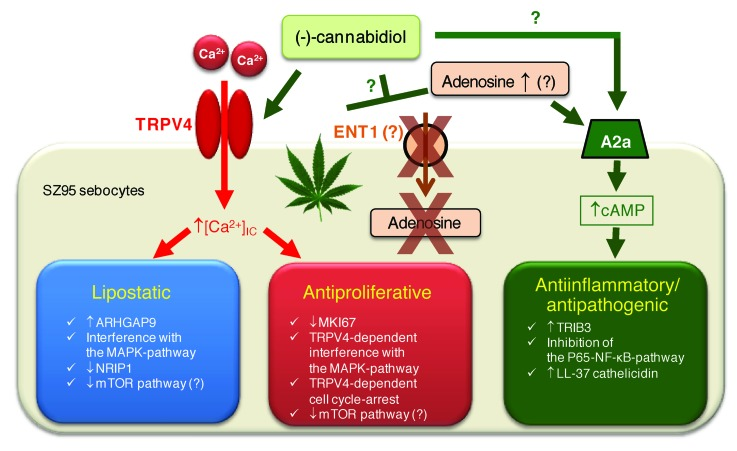 cannabidiol acne skin mechanisms