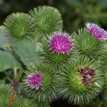 Burdock for Liver Health