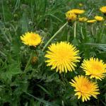 Dandelion for Liver Health