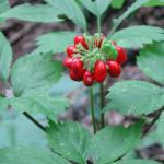 Ginseng for Blood Sugar