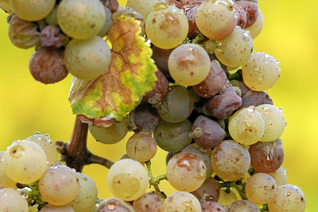 Grape seed extract health benefits