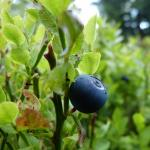 Bilberry for Blood Sugar