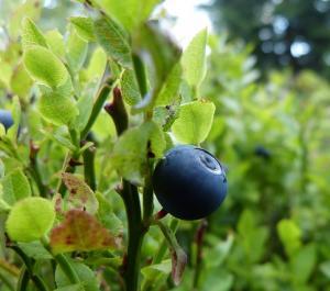bilberry blood sugar