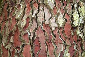 pine bark extract skin