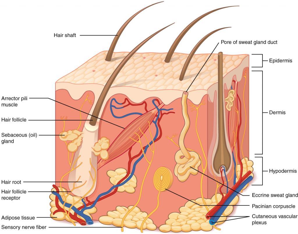 skin structure epidermis
